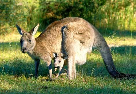 kangaroo-and-baby-joey11